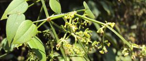 rubia-cordifolia