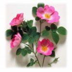 rosa-selvagem